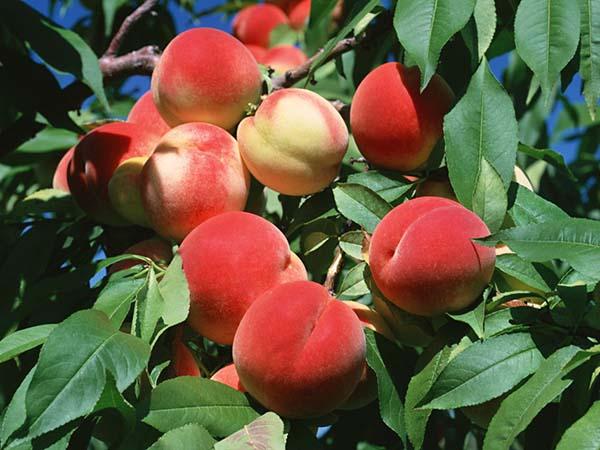 水蜜桃高清素材